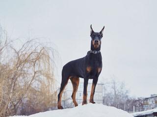 Dabhands - Dog Breeders
