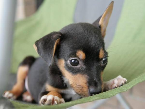 Doberman Shepherd Dogs and Puppies
