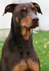Johnson's Doberman Shepherds - Dog Breeders