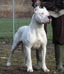 La Historia Dogo Argentino Available Dogs And Pups - Dog Breeders