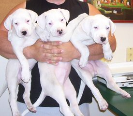 Escaya Dogos - Dog Breeders