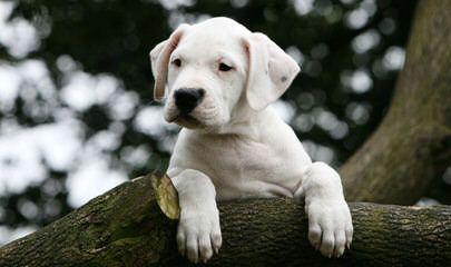 De Los Polleo Puppies  Born, June 16Th  3 Males & 4 Females - Dog Breeders
