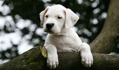 Dogo Argentino/ Argetinian Mastiff - Dog Breeders
