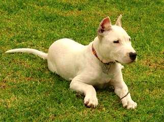 Argentum Dogos Argentinos - Dog Breeders