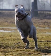 Debonair Dogo Argentinos, Argentine Dogos, Argentinian Mastiff Available Dogo Puppies Now - Dog Breeders