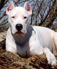 DOMINATION DOGOS - Dog Breeders