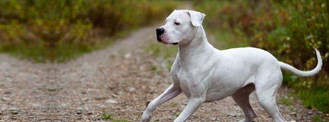 Dogo Valley-Valiente Dogo - Dog Breeders