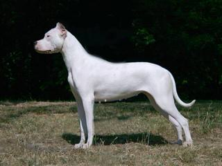 Dogo Argentino Puppies For Sale / Dogo Argentino Dog Breeders