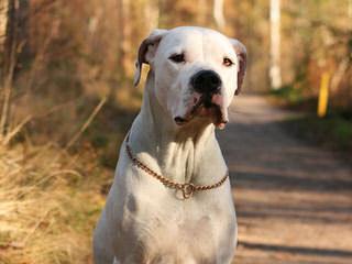 Deepwoods Dogos - Dog Breeders