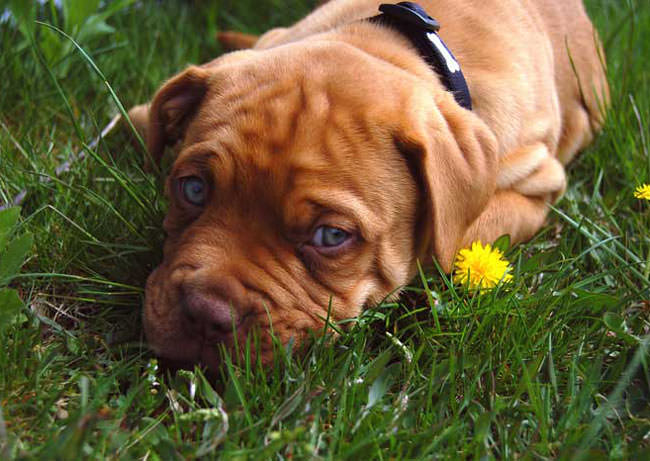 Dogue De Bordeaux Dogs and Puppies