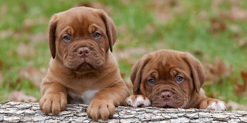 The King's Bordeaux - Dog Breeders