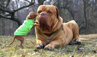 Milestone Bordeaux - Dog Breeders