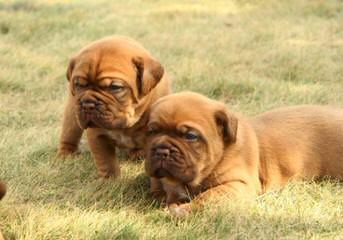 Northland Bordeaux - Dog Breeders