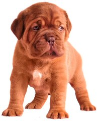 Labruja Dogue De Bordeauxs Uk - Dog Breeders