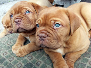 RedWaggin Kennels - Dog Breeders
