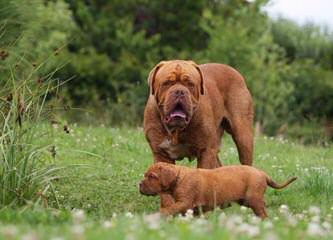 RedWaggin Kennels - Dog Breeders
