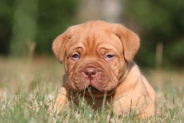 Von Krenz Bordeaux - Dog Breeders