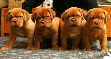 Underground bordeauxs - Dog Breeders