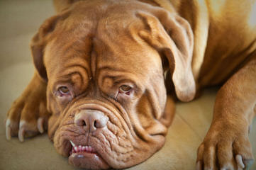 French Mastiff (Dogue De Bordeaux) - Dog Breeders