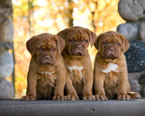 Dogue De Bordeaux/Rottwieler - Dog Breeders