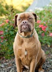 French Mastiff (Dogue De Bordeaux) - Dog Breeders