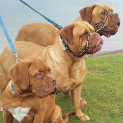 Red Dog Ridge Dogue De Bordeaux - Dog Breeders