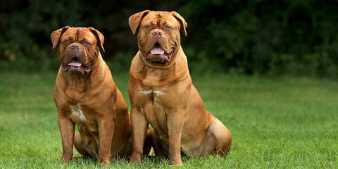 Pleasant Ridge Bordeaux - Dog Breeders