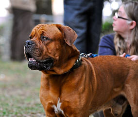 Premiere Roux Bordeaux - Dog Breeders