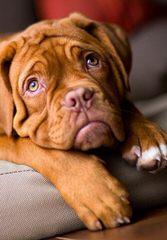Premiere Roux Bordeaux - Dog Breeders