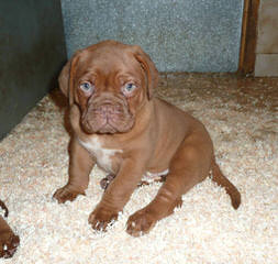 Low Country Bordeaux - Dog Breeders