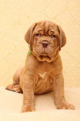 PARKAVE DOGUE DE BORDEAUX - Dog and Puppy Pictures