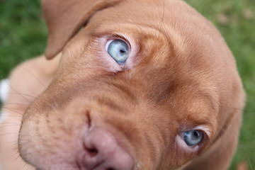 Charles River Dogue De Bordeaux - Dog Breeders