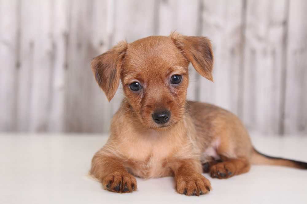 Dorkie Dogs and Puppies