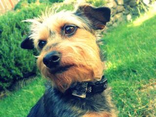 Zazen Dorkies - Dog Breeders