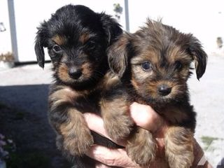 Cute Little Dorkies - Dog Breeders