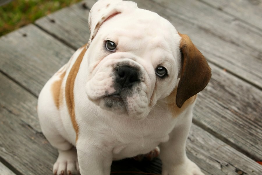 English Bulldog Dogs and Puppies
