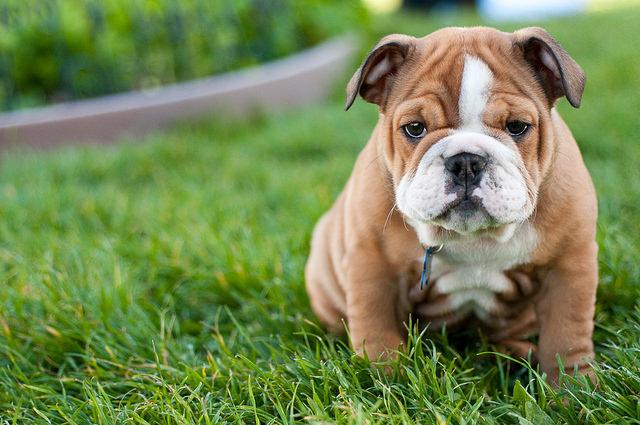 English Bulldog Dogs and Puppies