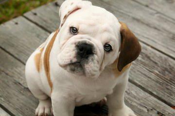 Classy Dogs - Dog Breeders