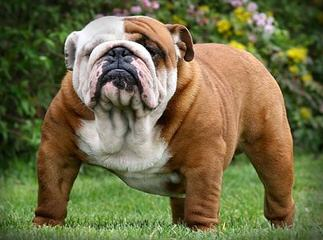 Waltmans Bulldogs - Dog Breeders