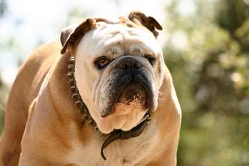 Pheasant Hill Bulldogs - Dog Breeders