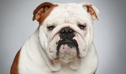 English Bulldogs, Puggles, Morkies, And More! - Dog Breeders