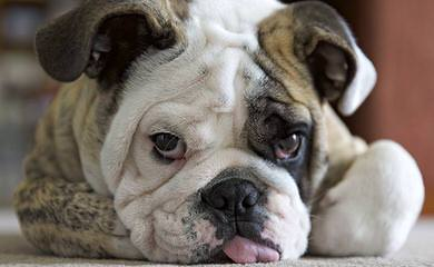 Kanteel English Bulldogs - Dog Breeders