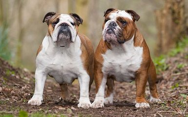 Imperial Dogues - Dog Breeders