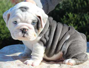 Lettie's English Bulldogs - Dog Breeders