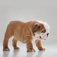 Best of British Bulldogs - Dog Breeders