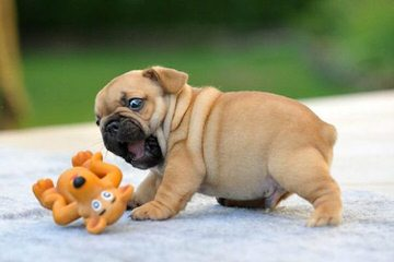 Slush Puppy Bulldogs - Dog Breeders