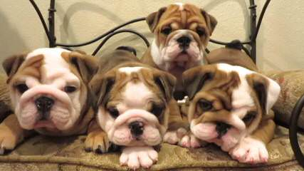 Denis Moore - Dog Breeders