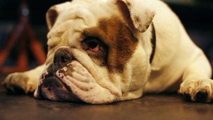 Top Quality English Bulldog Pups - Dog Breeders