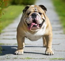 Disguise English Bulldogs - Dog Breeders