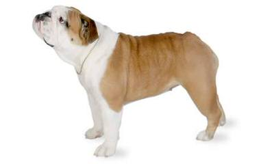 Bullpaws Bulldog - Dog Breeders